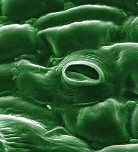 leaf stomate oxygen carbon dioxide