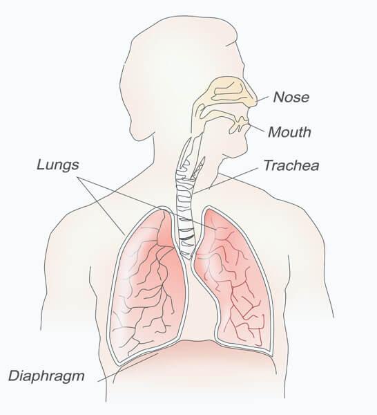 lungs oxygen respiration