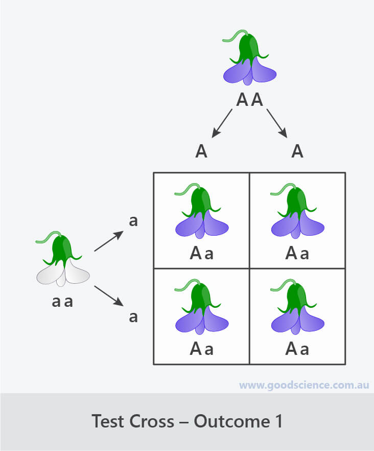 test cross punnett square outcome 1