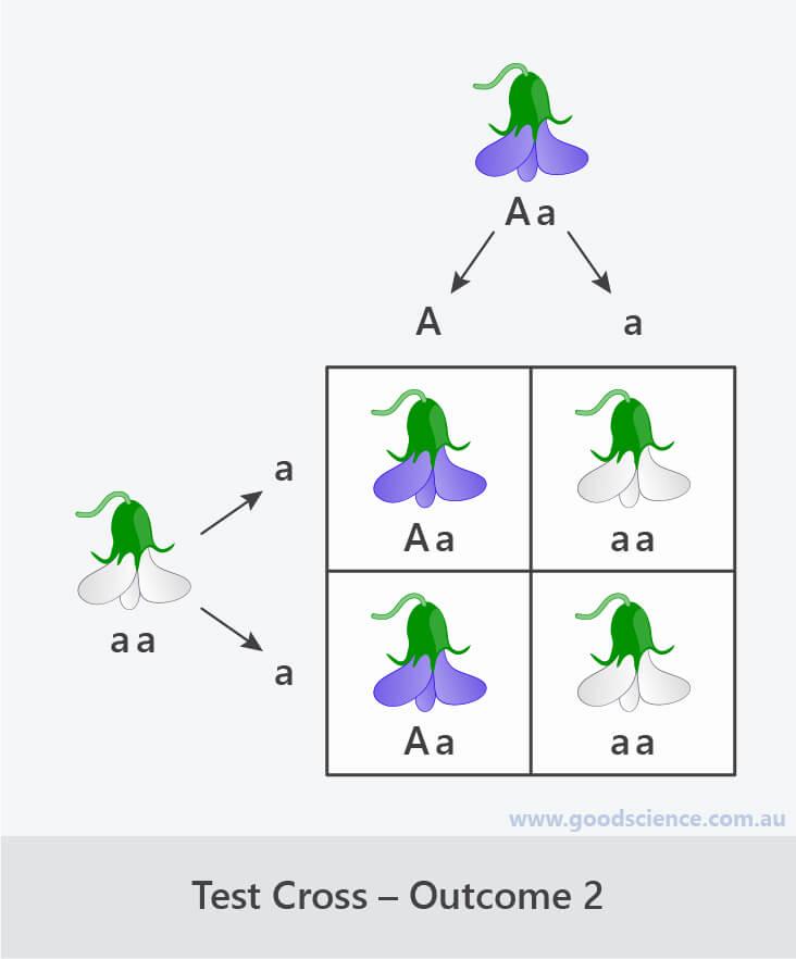 test cross punnett square outcome 2